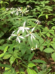Gillenia trifoliata - Tara Littlefield
