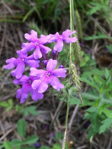 Glandularia canadensis - Ashley B. Morris