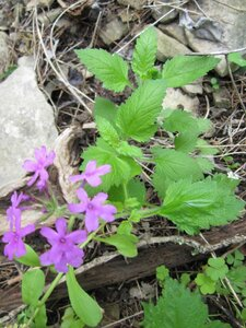 Glandularia canadensis - Tara Littlefield