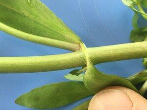 Gratiola floridana - Joey Shaw