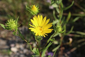 Grindelia lanceolata var. lanceolata - Ashley B. Morris