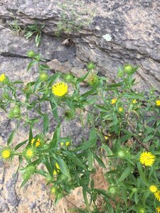 Grindelia lanceolata var. lanceolata - Theo Witsell