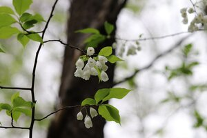 Halesia tetraptera - Ashley B. Morris