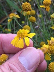 Helenium amarum var. amarum - Dwayne Estes