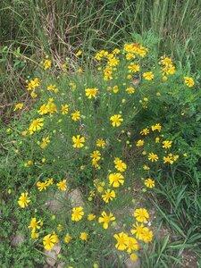 Helenium amarum var. amarum - Theo Witsell