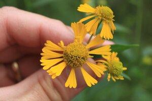 Helenium autumnale - Dwayne Estes
