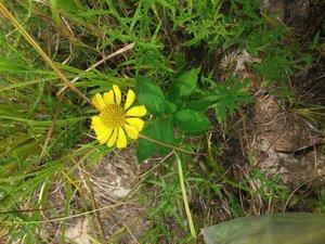 Helenium autumnale - Tara Littlefield