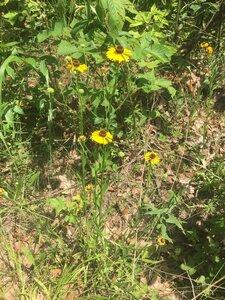 Helenium flexuosum - Tara Littlefield