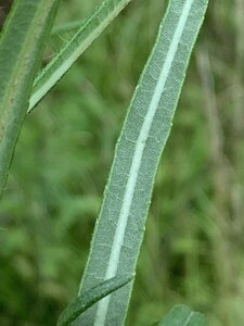 Helianthus angustifolius - Dwayne Estes