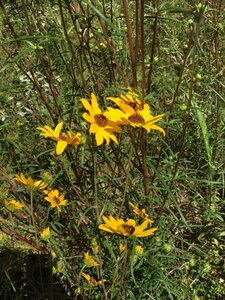 Helianthus angustifolius - Sunny Fleming