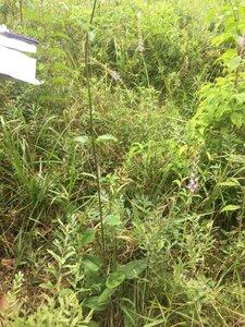 Helianthus atrorubens - Tara Littlefield