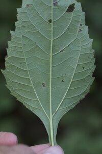 Helianthus decapetalus - Dwayne Estes