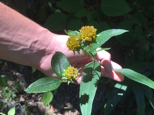 Helianthus eggertii - Sunny Fleming