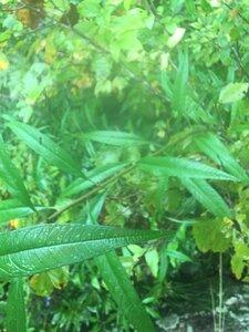 Helianthus giganteus - Tara Littlefield