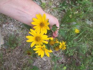 Helianthus hirsutus - Sunny Fleming