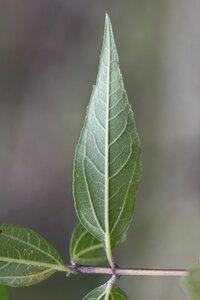 Helianthus microcephalus - Dwayne Estes