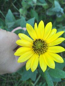 Helianthus mollis - Sunny Fleming