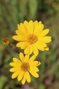 Helianthus occidentalis ssp. occidentalis - Ashley B. Morris