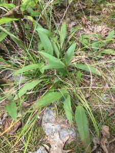 Helianthus occidentalis ssp. occidentalis - Dwayne Estes
