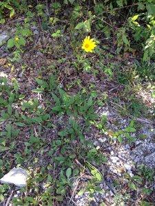 Helianthus occidentalis ssp. occidentalis - Sunny Fleming
