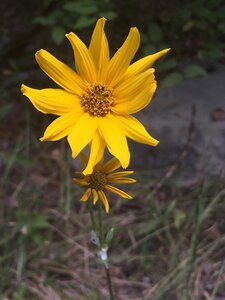 Helianthus occidentalis ssp. occidentalis - Tara Littlefield