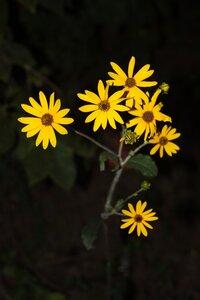 Helianthus silphioides - Dwayne Estes