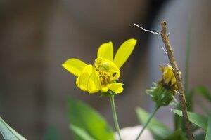 Helianthus strumosus - Dwayne Estes