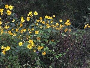 Helianthus tuberosus - Tara Littlefield