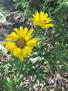 Heterotheca camporum var. glandulissima - Dwayne Estes