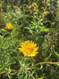 Heterotheca camporum var. glandulissima - Theo Witsell