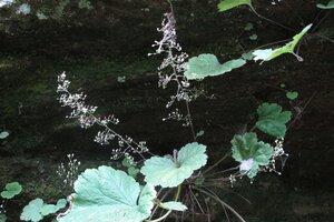 Heuchera parviflora - Milo Pyne