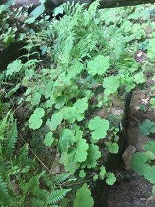 Heuchera parviflora - Tara Littlefield