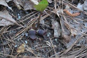 Hexastylis heterophylla - Milo Pyne