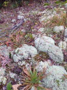 Hieracium gronovii - Milo Pyne