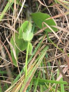 Hieracium gronovii - Tara Littlefield