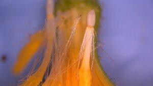 Hieracium venosum - Joey Shaw