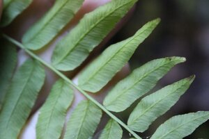 Homalosorus pycnocarpos - Ashley B. Morris