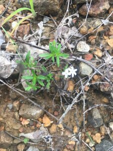 Houstonia longifolia var. compacta - Tara Littlefield