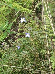 Houstonia serpyllifolia - Dwayne Estes