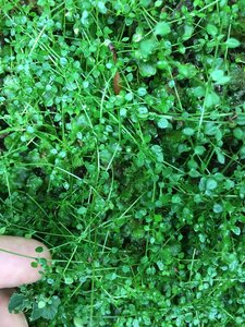 Houstonia serpyllifolia - Joey Shaw
