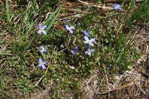 Houstonia serpyllifolia - Milo Pyne