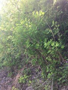 Hydrangea arborescens - Dwayne Estes