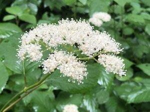 Hydrangea arborescens - Milo Pyne