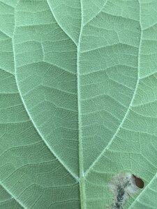 Hydrangea cinerea - Dwayne Estes