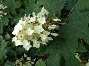 Hydrangea quercifolia - Milo Pyne