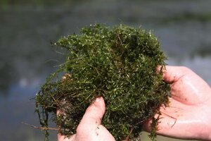 Hydrilla verticillata - Dwayne Estes