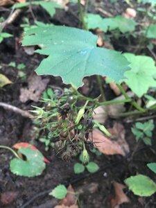 Hydrophyllum canadense - Joey Shaw