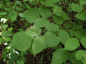 Hylodesmum glutinosum - Milo Pyne