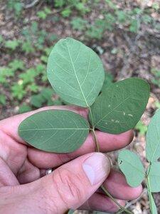 Hylodesmum nudiflorum - Dwayne Estes
