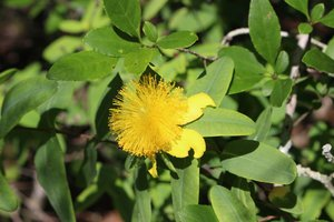 Hypericum frondosum - Ashley B. Morris